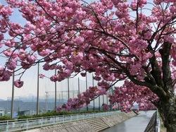 湖畔の八重桜1.jpg
