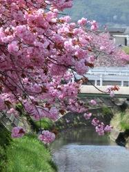 湖畔の八重桜2.jpg