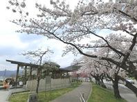 足湯と桜1.jpg